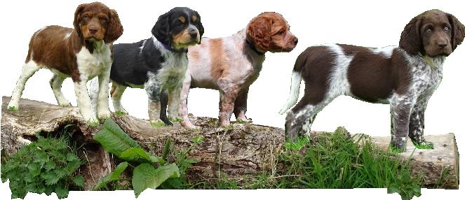 Elevage Canin A Nouainville Manche Le Domaine D Aiden